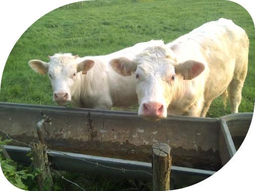Vache boit si